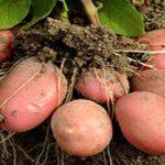 Как сажать картофель, чтобы был хороший урожай